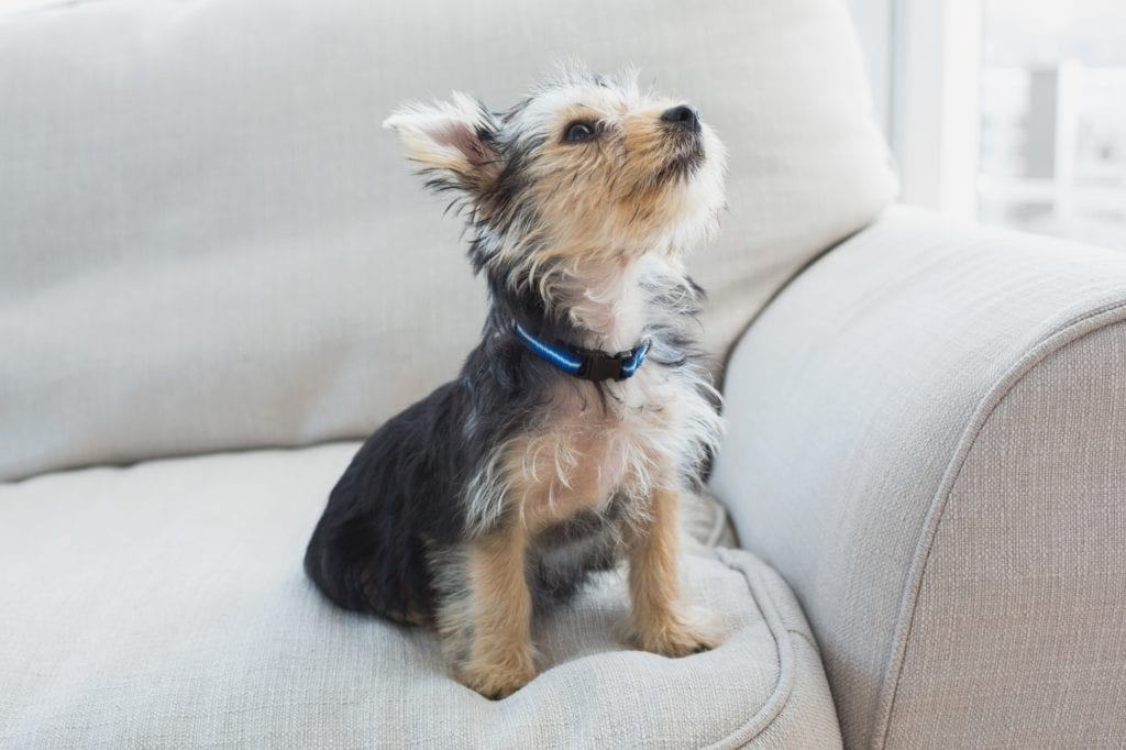 Yorkshire terrier sitting on the couch at home in the living room